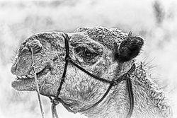 One of Solitaire's camels