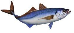 Fish - Marsbanker - Horse Mackerel