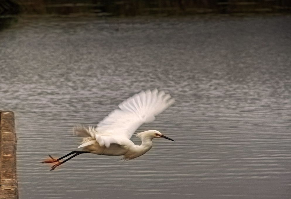 White Crane Spreads Wings