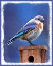 Bluebird on Birdhouse