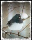 Black-Eyed Junco Watercolor