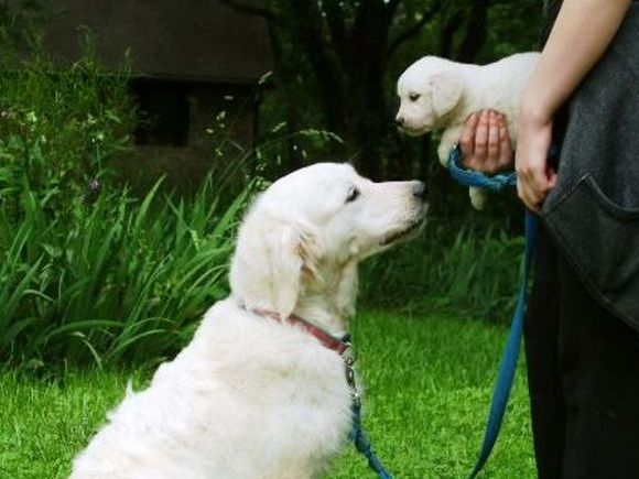 Elsie-dam of litter - English Creme Golden Retriever Puppies Kansas