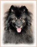 Keeshond Portrait - Shadow