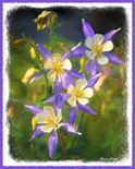 Colorado Blue Columbine Art