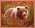 Grizzly Bear in Fireweed