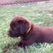 English Chocolate Labrador puppies