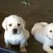 English Yellow Labrador puppies
