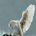 Apollo, Common Barn owl