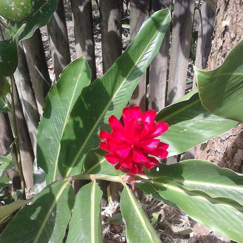 Lush Red Ginger Flower.