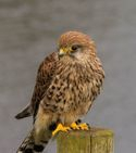 Skye, Common Kestrel
