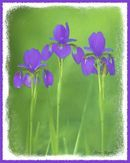 Purple Iris Art