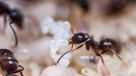 Carpenter Ants chew through wood like termites, however, they do not eat wood like termites.