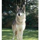 Troy American wolfdog at honiahaka