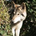 Troy Wolfdog at honiahaka