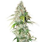 OG Kush Cannabis Seeds