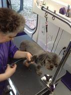 Me scissoring Sebastian during his grooming.