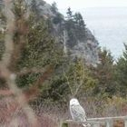 Snowy Owl on neighbor's deck rail, Burnthead in background