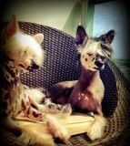 Chinese Crested Hairless customer feedback