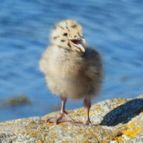 Baby Seagull at Pebble Beach