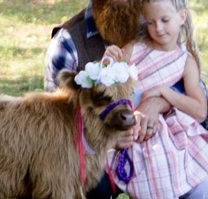 Miniature cows, Domino and Cutie Pie in a wedding