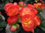 Your Beautiful Begonia