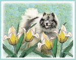 Keeshond in Tulips