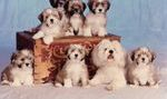 My very first litter of Lhasa Apso puppies