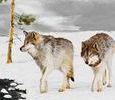Wolves in Snow Art