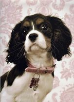 Cavalier King Charles Spaniels New England