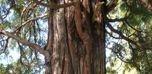 birch tones