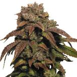 Green Crack Cannabis Seeds