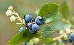 Blueberry Pollination