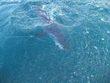 Mako sharks always add fun