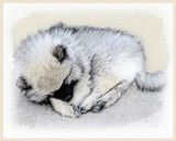 Keeshond Sleeping Puppy
