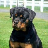 """Cunga """"Prometej"""" one of our foundation dogs imported from Yugoslavia with many champions in her back ground"""