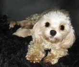 CavaMaltipoo Cavapoo Maltese Poodle