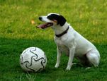 Every Jack Russell loves a ball!