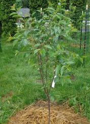 Peach trees Contender and red Haven are great choices for northern cold hardy peach.