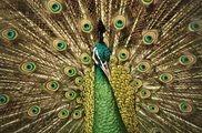 merak rainforest bird