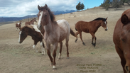 First Run for the 9 month wild foals. Wild horse rescued from Kill Pen