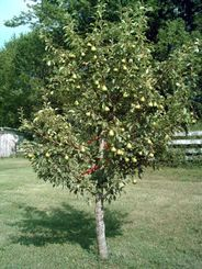 Macintosh Apple Tree