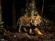 rainforest tiger habitat