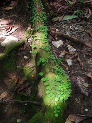 rainforest tree root