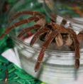 Pittsburgh Reptile Show And Sale Spiders!
