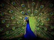 peacock rainforest bird