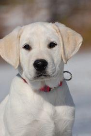 white labrador female