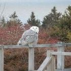 Snowy Owl on the Neighbor's deckrail!