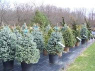 Evergreens (Blue Spruce Selection)