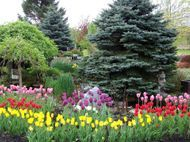 Display Garden, Tulips and Spruce