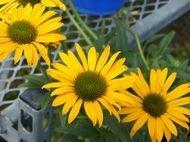 Perennial Close-up